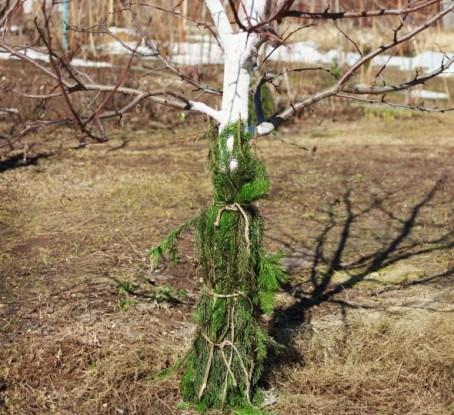 Виды повреждений плодовіх деревьев и их защита