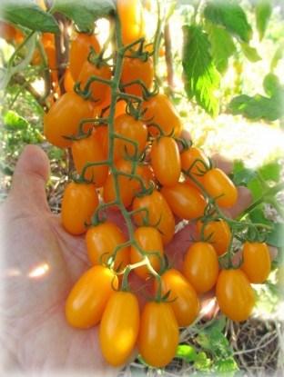 Сорт томатов черри Желтый финик