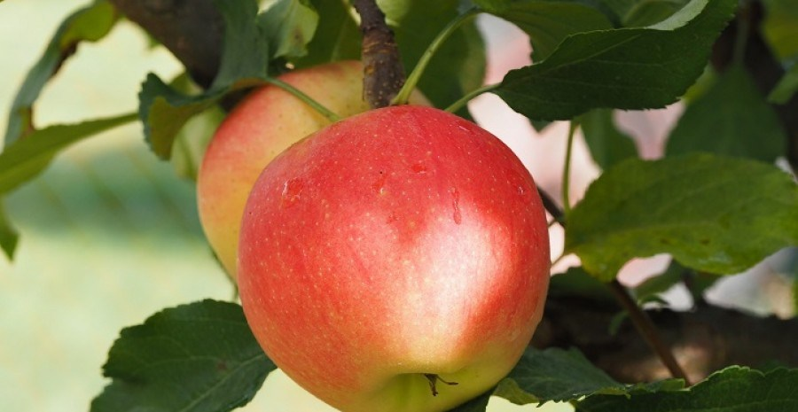 Захист плодових культур від хвороб