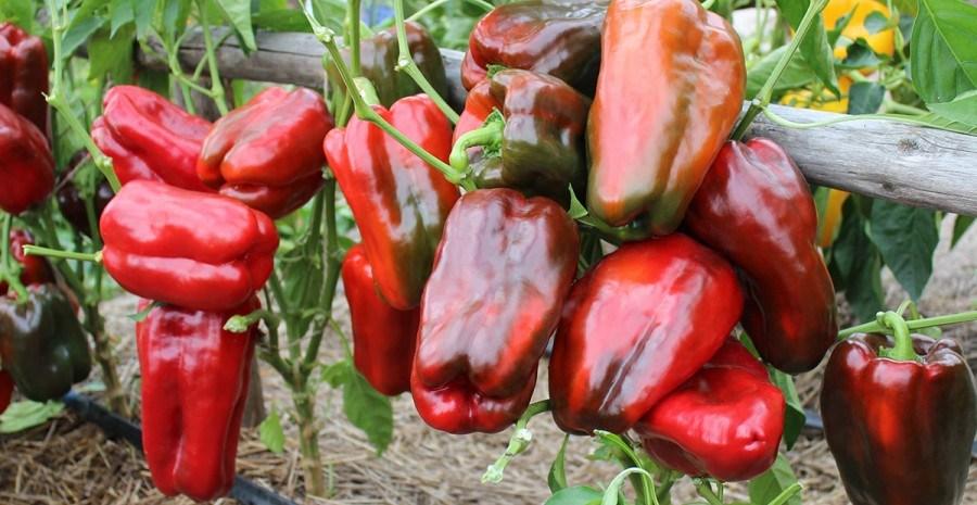 Яркие перцы