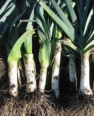 Отличный урожай лука-порея с качественными отбеленными ножками