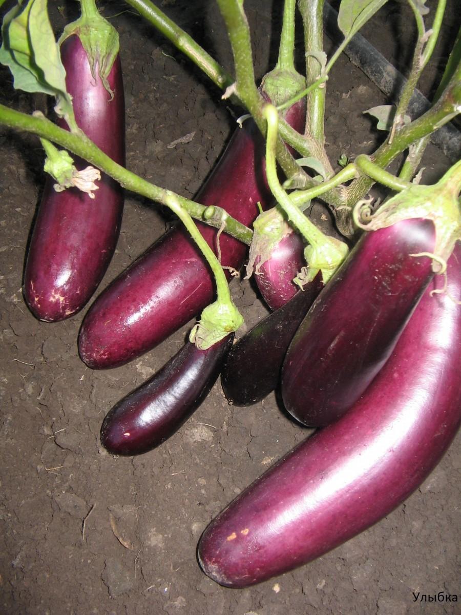 Выращивание баклажанов в сибири 36